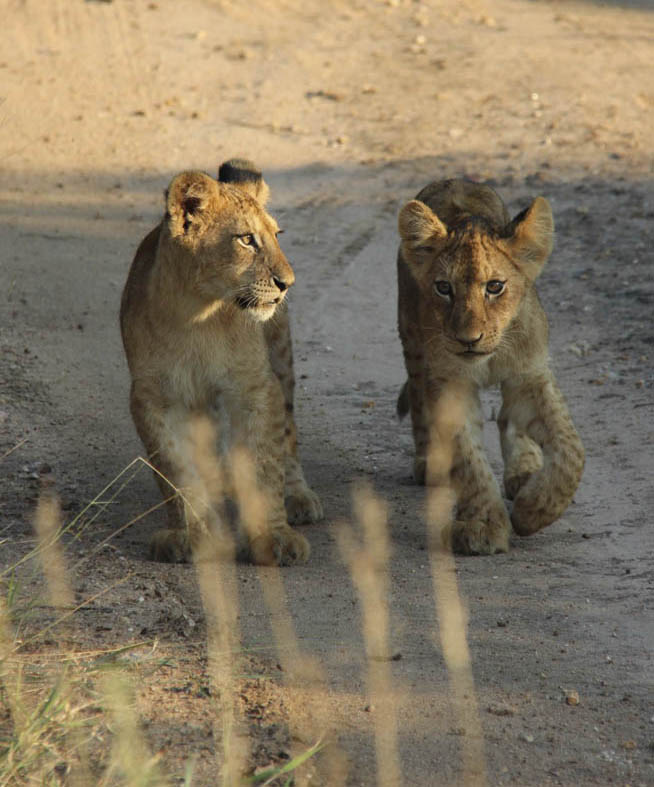 Lion cups South Africa