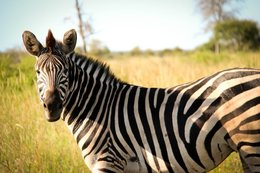Zebra in the Kruger National Park - South Africa