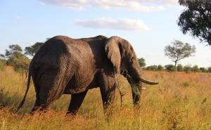 Olifant in Krugerpark Safari