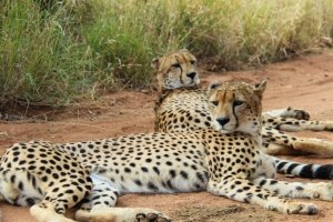 Cheetah Project - Hoedspruit - South Africa