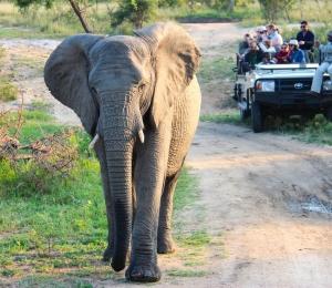 Olifant tijdens een safari in Zuid-Afrika