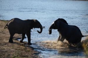 Olifanten op huwelijksreis