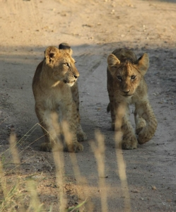 South Africa Honeymoon - Lion Cubs Kruger Park