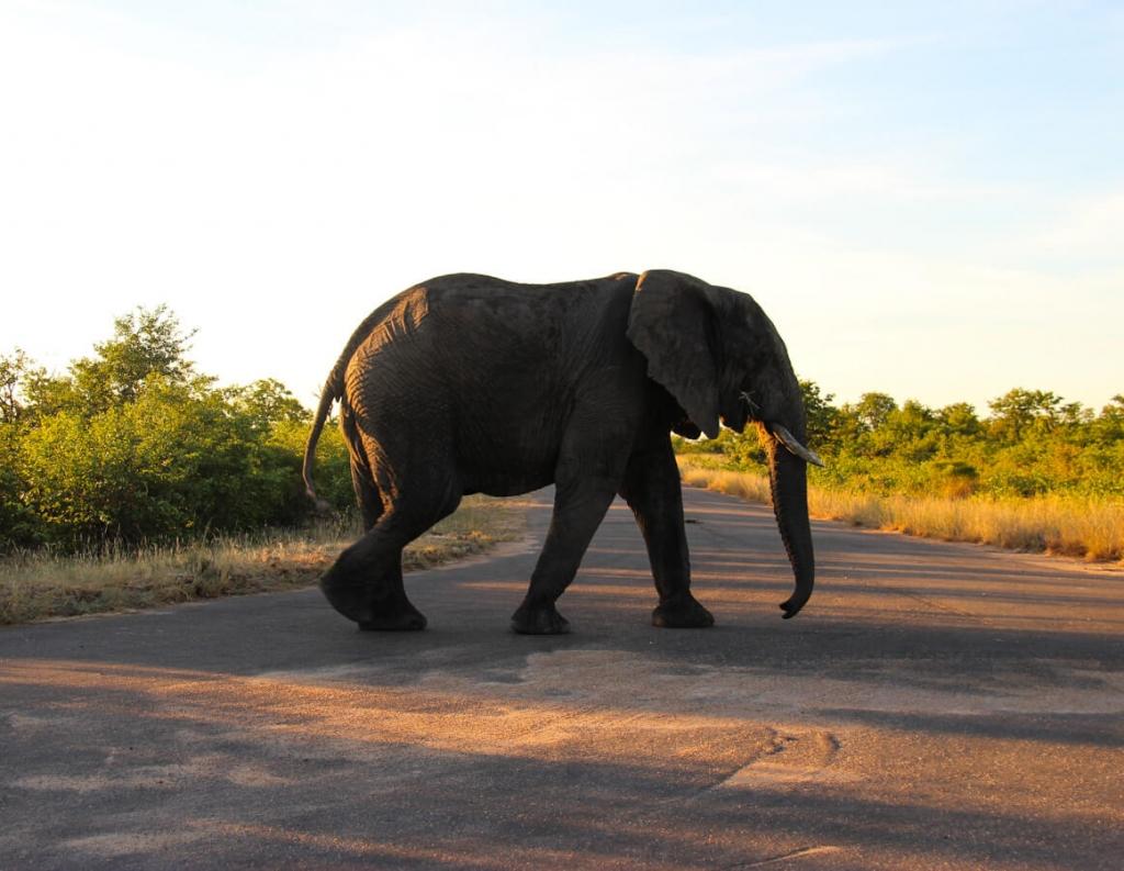 Olifant in het Krugerpark - Zuid-Afrika