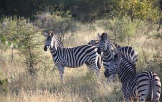 Zebra's Kruger Park South Africa