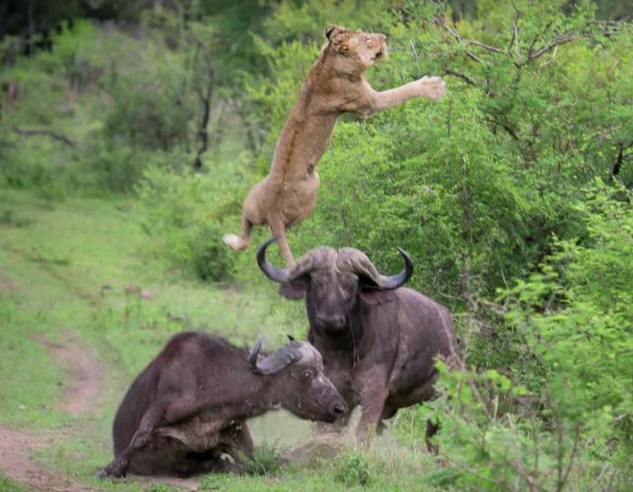 Buffalo lion fight Kruger Park