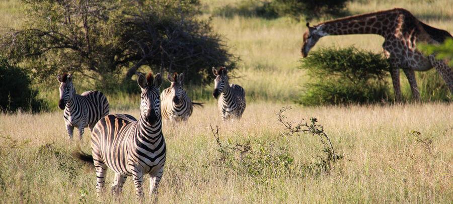 zebra-giraffen-zuid-afrika