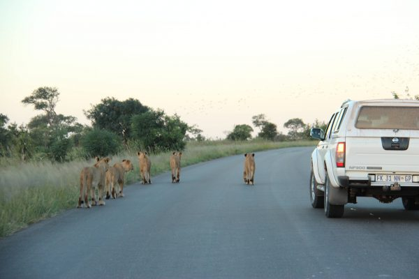 Game Drive in het Krugerpark - Zuid Afrika